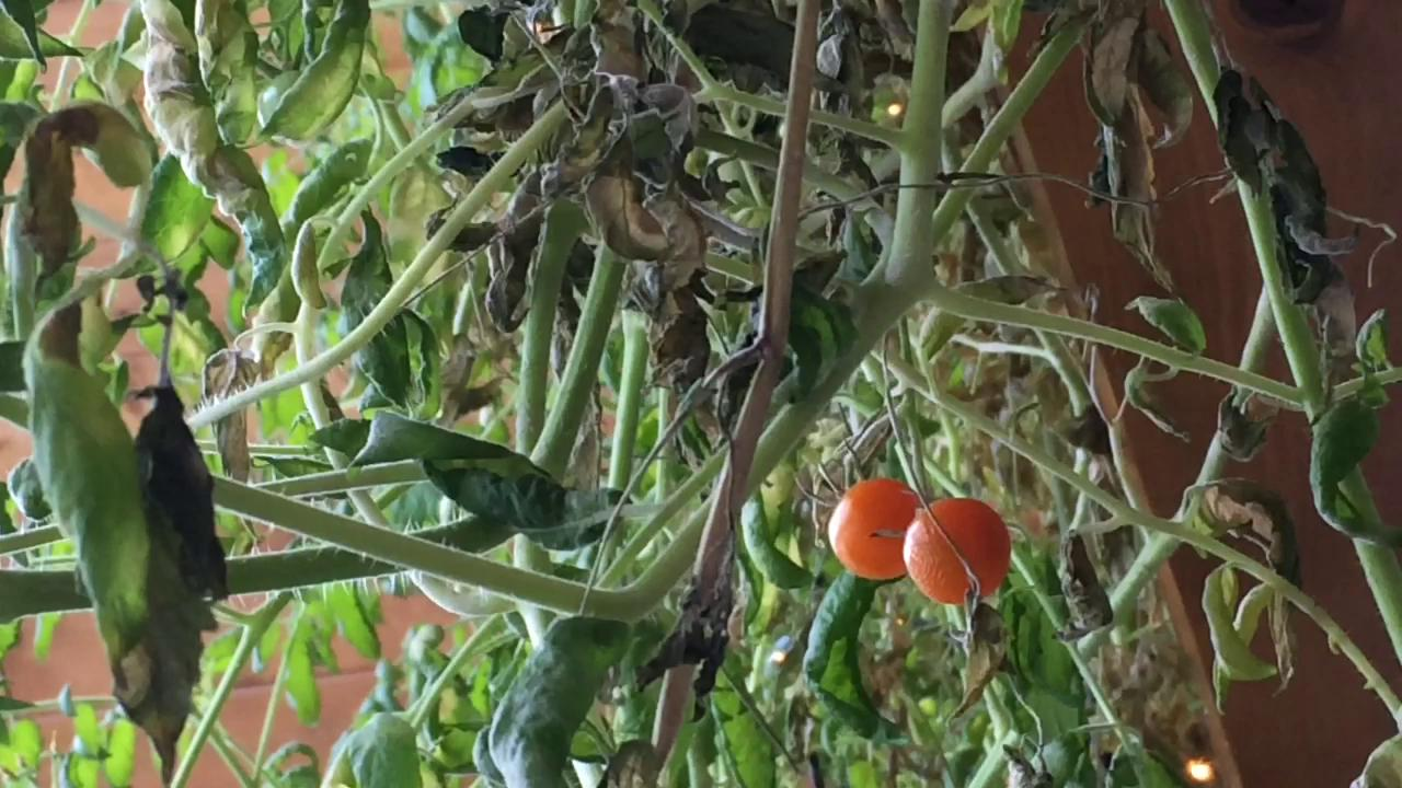 A couple in Fremont have an indoor tomato plant that's grown to a height of 29 feet. Ken and Barb Hahn's plant has grown taller than their second-story ceiling. (Jan. 8, 2014)