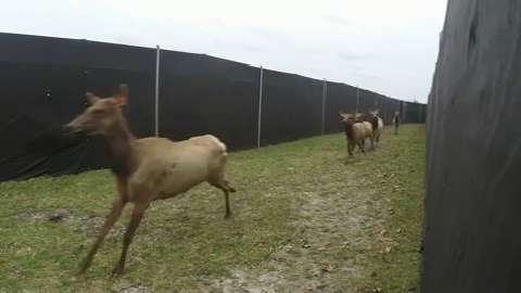The DNR has imported more elk from Kentucky in hopes of building a Jackson County herd.