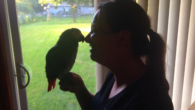 Ruby, an African grey parrot, is back home after sneaking out of the house mid-May through a tear in the corner of her owner's screen door. (June 9, 2016)