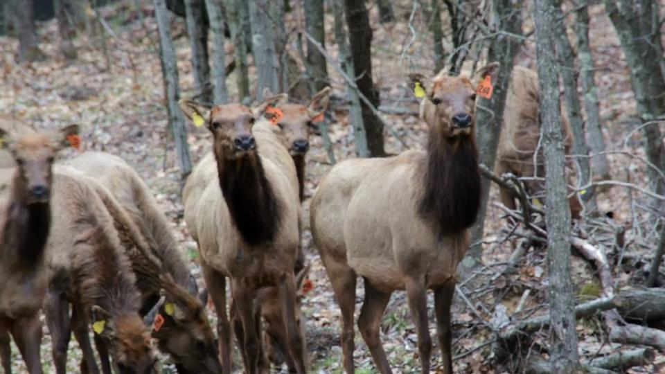 Twenty-eight Kentucky elk have arrived at their new home in the Flambeau River State Forest in Sawyer County.